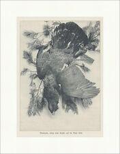 Auerhahn, erlegt vom Kaiser auf der Balz 1896 Wilhelm II. Jagd Preußen UK 080