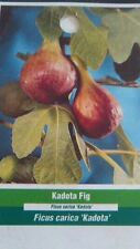 KADOTA FIG TREE Live Plant Fruit Trees Healthy Figs Plants Home Garden Orchards