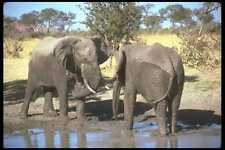 107060 African Elephants Confrontation A4 Photo Print