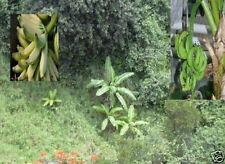 Gesundes Gemüse ! Winterharte Banane Musa Nagensium mit Essbananen - Pflanze *