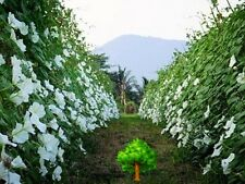 BIG WHITE MOONFLOWER IPOMEA ALBA EDIBLE FRAGRANT NIGHT FLOWER MORNING GLORY