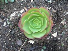 """~AEONIUM KIWI~ Lovely 2"""" + sempervivum plant succulent echeveria sedum"""