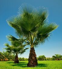 10 Graines Washingtonia filifera , California Fan Palm seeds