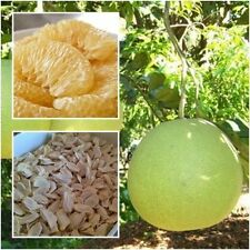 Pomelo 20 Seeds Grapefruit, Citrus, Maxima, Fruits, Seeds