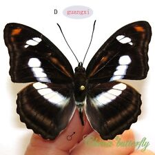 unmounted butterfly Nymphalidae Athyma cama CHINA  #D