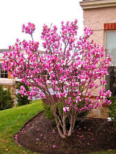30pcs Mix Magnolia beautiful flower tree seeds Magnolia in pot or ourdoor plant