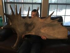 MASSIVE Moose Antler Paddle Horns Whitetail Sheds Antlers Carving Deer Craft !!!