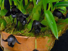 Maxillaria schunkeana - a black orchid - flowering sized species orchid