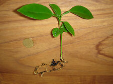 PLANT DE CITRONNIER - CITRON - AGRUME - YOUNG LEMON TREE