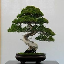 20 Common Juniper tree seeds. tree seeds that can be used for bonsai.