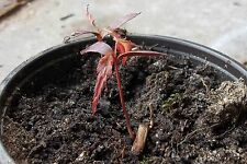 "30 ""Bloodgood"" Japanese Red Maple Fresh Stratified Seeds ""For  Sprouting"""