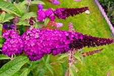 Buddleia davidii Royal Red Starter Plant FREE SHIP