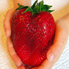 1000pcs Giant Red Strawberry Seeds, Garden Fruit Plant, Rare And Delicious
