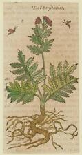 JACQUES DALECHAMPS CARDO ZAMPA D'ORSO YELLOW MELANCHOLY THISTLE MATTHIOLI 1630