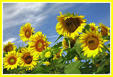 sunflower, TALL, attracts BLUE JAYS, yellow flower, 33 SEEDS! GroCo#