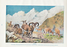 1910 NATURAL HISTORY DOUBLE SIDED PRINT ~ BHARAL / MOUFLON LYDEKKER