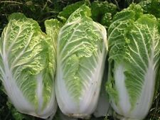 Cabbage Seeds - GREEN ROCKET - Michihli Type - Gmo Free, Organic - 50 Seeds