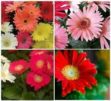 20+ Gerbera Daisy Mix California Giant / Annual Flower Seeds