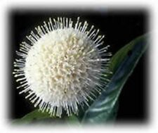 50 BUTTONBUSH / HONEYBALL SHRUB Hummingbirds! + Free Gift & Comb S/H