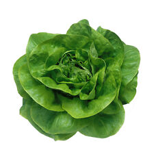 Butter head lettuce Seed vegetable seeds for home garden 400 seeds horticulture