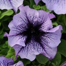 5 Daddy Blue Petunia Seeds