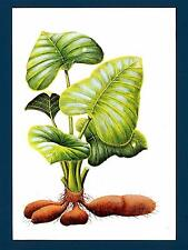 SAN TOME' - Cart. Post. - 1975-1985 - 20 Db - Colocasia Esculenta