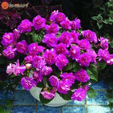 20 seeds Purple Univalve Geranium Flower Pelargonium Peltatum plant garden