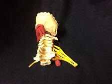 GPI #1720 - Deluxe Muscled Cervical Vertebral Column Spine Anatomical Model