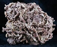 CORAL REEF FOSSIL ON MATRIX DEVONIAN AGE 410 MILLION YRS AGO NEW FIND PAYSON AZ