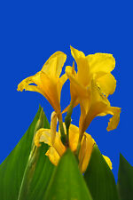Canna Lilly Seed Yellow Flower Stunning Garden Fresh Seed Canna Indica