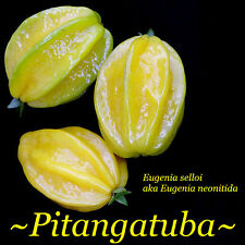 ~PITANGATUBA~ FRUIT TREE Eugenia selloi neonita STAR CHERRY Bigger Pot'd Plant