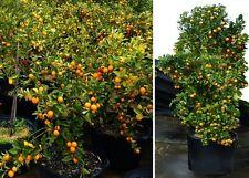 Mandarinenbaum essbare Früchte Pflanze groß Zimmerpalme für das Büro Büropflanze
