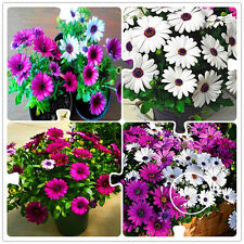 100+ African  Eyed Daisy Seeds Osteospermum seeds Garden Plant Bonsai Mix Flower
