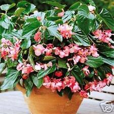 PINK DRAGON WING BEGONIA 20 SEEDS BEAUTIFUL HANGING BASKET OF LOVELY PINK BLOOMS