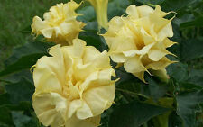 Datura Metel Seeds - TRIPLE YELLOW - Tropical, Fragrant, Brugmansia - 10 Seeds