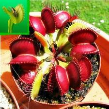 NEW 40pcs Venus Fly Trap Flower Seeds Dionaea Muscipula Giant Clip Garden Plant