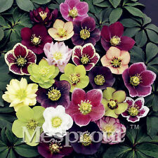 Lady Most Christmas Rose Seeds Pot Bonsai Rose Seed