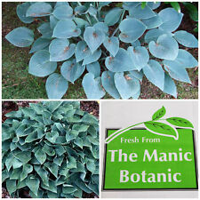 Hosta 'Blue Cadet' - Shade Loving, Cottage Patio Garden Ex 2 Litre Pot