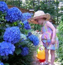 Gorgeous 10 Blue Hydrangea Flower Seeds Easy to Plant Ideal Garden Present HOt