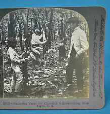 Stereoview Gathering Cacao For Chocolate Manufacture Nicaragua Keystone View