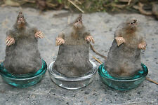 Taxidermy mole paper weight Talpa europae  Tall version Pagan Gothic Wicca