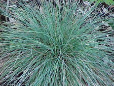 250 Seeds - Blue Fescue Grass - Festuca ovina glauca