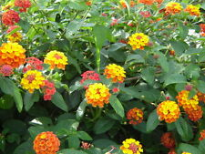 Lantana camara Ham and Eggs 20 seeds