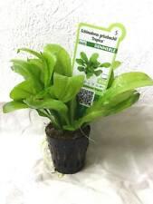 Plante aquarium pot dennerle echinodorus grisebachii 10-15cm
