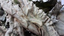 BURDOCK (Arctium lappa): Dry Whole Leaf Botanical - 2 OUNCE