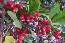 TWO MIRACLE FRUIT PLANTS  Synsepalum dulcificum USA