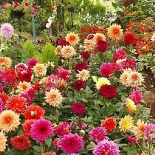 25+ DAHLIA SHOWTIME MIX FLOWER SEEDS / ANNUAL - PERENNIAL / TALL