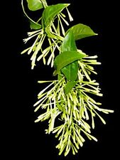Jasmine-of-the-Night (Raat Ki Rani) - Cestrum nocturnum -  0.5 to 1 ft high
