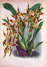 Antiguo orquídea Impresiones-Restaurado, De Alta Resolución, de gran tamaño A3, print-making imágenes de DVD