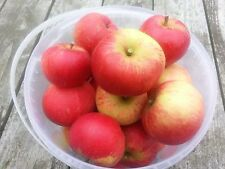 Discovery Apple Tree 4-5ft Ready to Fruit, Crisp,Juicy, Strawberry Taste